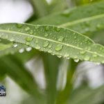 weather rain drops oleandar leaf Bermuda August 2 2011-1