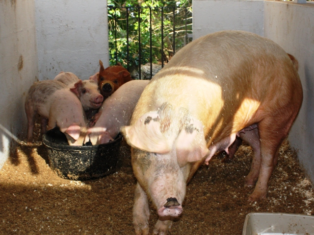 pigs-ag-show-2010-3