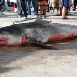 tiger shark july 2010 (11)