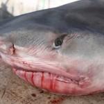 tiger shark july 2010 (12)