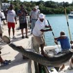 tiger shark july 2010 (3)
