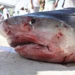 tiger shark july 2010 (4)