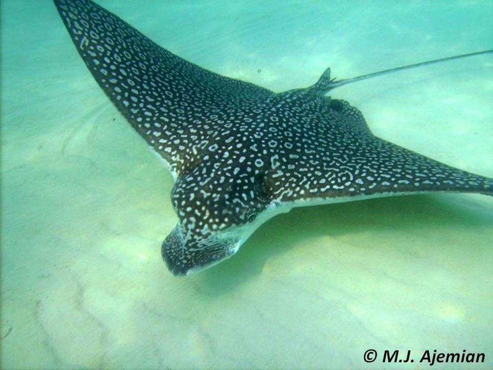 Bermuda protection for spotted eagle rays aetobatus narinari for Is a stingray a fish
