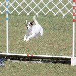 bermuda dog show oct 23 (7)