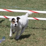 bermuda dog show oct 23 (8)