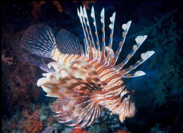 1Lionfish