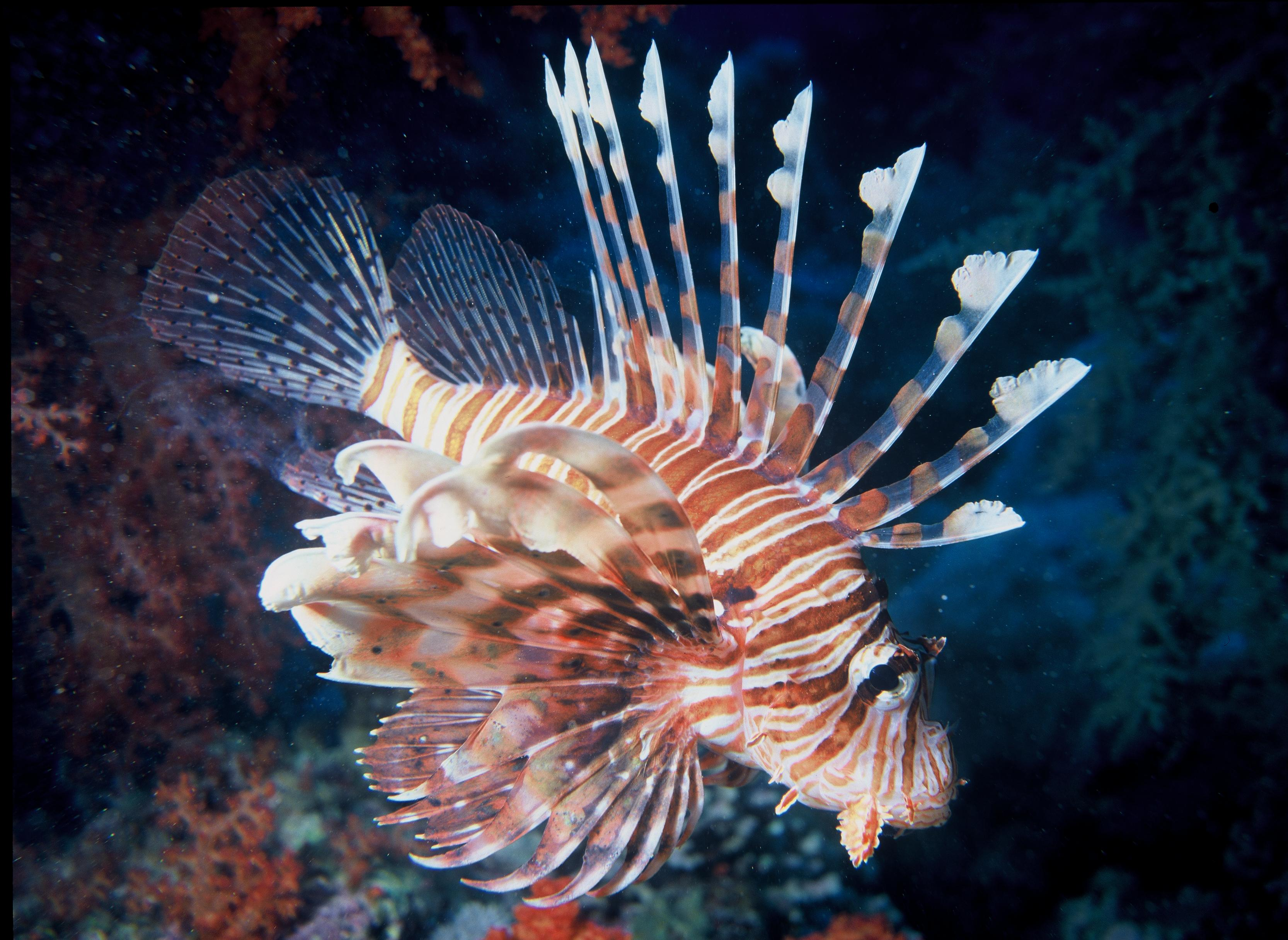 "Lionfish: ""Eating 'Em To Beat 'Em"" - Bernews : Bernews"