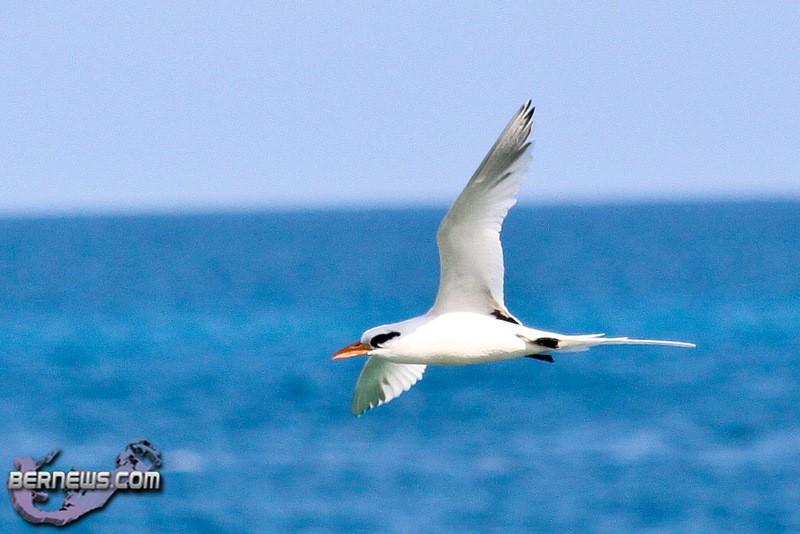 Longtail Bird Bermuda 2010-2