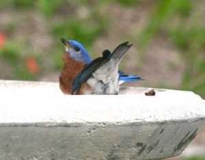 bluebirds-bermuda-23