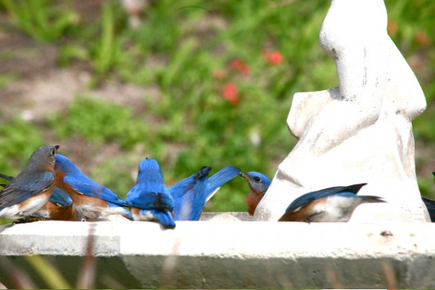 bluebirds bermuda