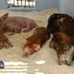 Annual Exhibition Pigs Bermuda April 13 2011 (1 of 1)-10