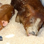 Annual Exhibition Pigs Bermuda April 13 2011 (1 of 1)-11