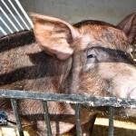 Annual Exhibition Pigs Bermuda April 13 2011 (1 of 1)