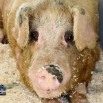 Annual Exhibition Pigs Bermuda April 13 2011 (1 of 1)-16