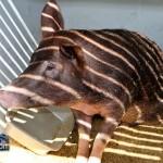 Annual Exhibition Pigs Bermuda April 13 2011 (1 of 1)-17