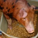 Annual Exhibition Pigs Bermuda April 13 2011 (1 of 1)-18