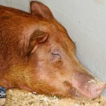 Annual Exhibition Pigs Bermuda April 13 2011 (1 of 1)-6