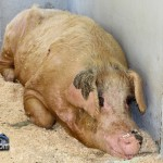 Annual Exhibition Pigs Bermuda April 13 2011 (1 of 1)-9