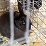 Annual Exhibition Poultry Bermuda April 13 2011-1-13