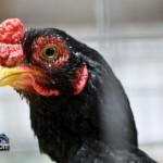 Annual Exhibition Poultry Bermuda April 13 2011-1-23