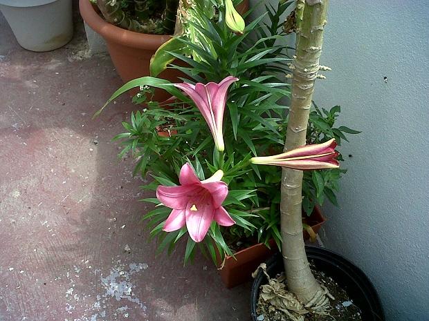 pink easter lilies bermuda (2)
