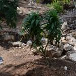 11 july cannabis plants bermuda (1)