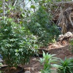 11 july cannabis plants bermuda (2)