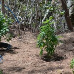 11 july cannabis plants bermuda (3)