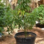 11 july cannabis plants bermuda (4)