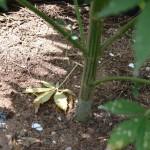 11 july cannabis plants bermuda (6)