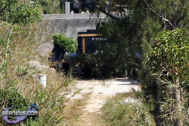 bermuda cannabis plants jily 2011 (1)