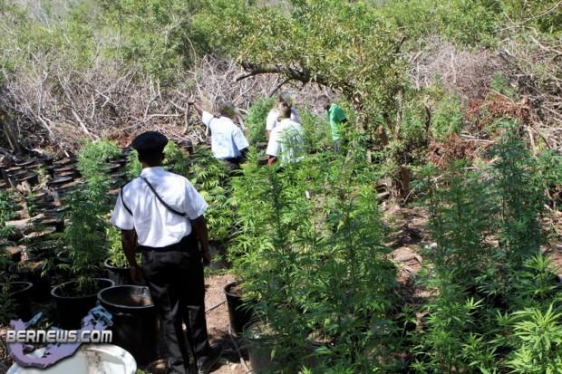 bermuda cannabis plants jily 2011 (3)