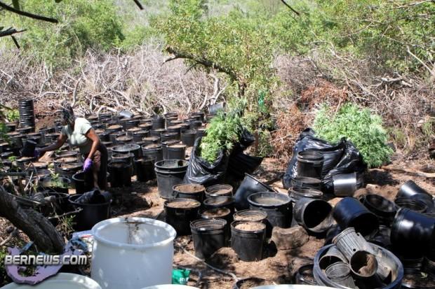 bermuda cannabis plants jily 2011 (4)