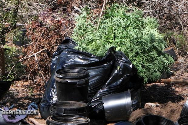 bermuda cannabis plants jily 2011 (5)