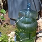 bermuda marijuana plants july 20 2011 (3)