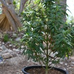 bermuda marijuana plants july 20 2011 (4)
