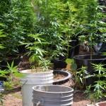 bermy weed plants july 11 (1)