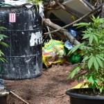 bermy weed plants july 11 (4)