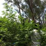 kitchener close cannabis weed police Bermuda July 20 2011 - 13