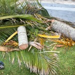 Tiger Bay tree Tropical Storm Maria hurricane weather Bermuda September 15 2011-1-15
