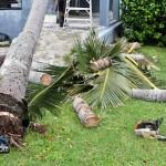 Tiger Bay tree Tropical Storm Maria hurricane weather Bermuda September 15 2011-1-2