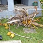 Tiger Bay tree Tropical Storm Maria hurricane weather Bermuda September 15 2011-1-7