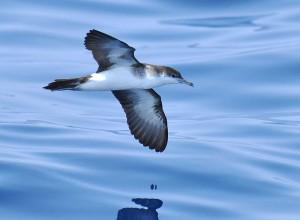 Audubon's Shearwater_Wiki
