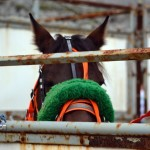 2011 boxing day harness pony racing bermuda (29)