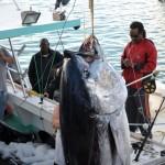920lb tuna feb 1 2012 (10)