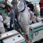 920lb tuna feb 1 2012 (12)