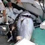 920lb tuna feb 1 2012 (16)