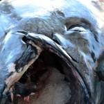 920lb tuna feb 1 2012 (17)