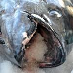 920lb tuna feb 1 2012 (19)