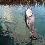 920lb tuna feb 1 2012 (7)